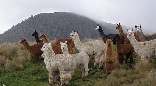 Alpacas in their natural habitat