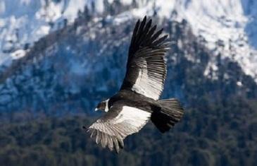 Andean Condor – Vultur gryphus