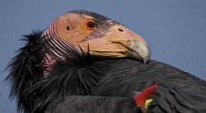 California Condor San Diego Zoo