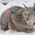 Canadian lynx1