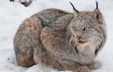 Canada Lynx – Lynx Canadensis