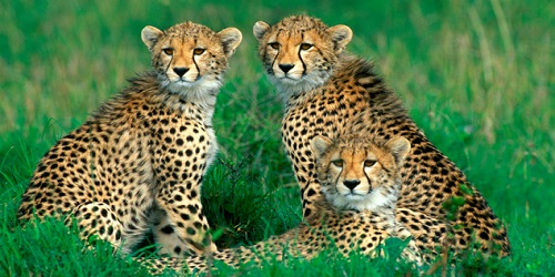 Cheetahs from the National Zoological Gardens of South Africa