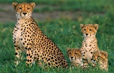 Cheetah – Acinonyx Jubatus