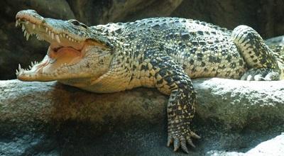 Cuban crocodile in Hoyersweda Zoo, Germany