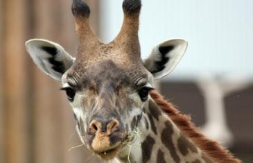 Giraffe – Giraffa camelopardalis