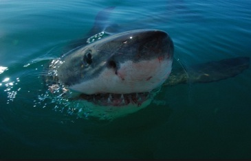 Great White Shark – Carcharodon carcharias
