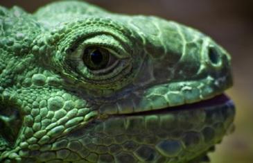 Green Iguana – Iguana iguana