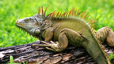 Green Iguana in the Amazon Rainforest