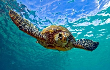 Green Sea Turtle – Chelonia mydas