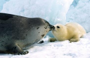 Harp Seal – Pagophilus Groenlandicus