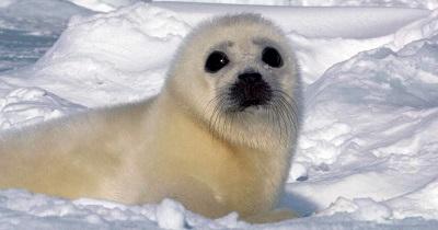 Harp seal Greenland