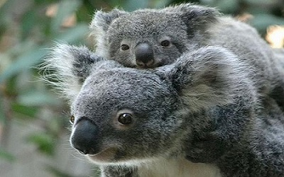 information about a koala Koalas almost never need to drink they get most of their water from the succulent eucalyptus leaves they eat the word koala is an aboriginal word meaning no.