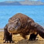 Komodo Dragon in Komodo Island