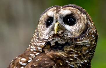 Northern Spotted Owl – Strix occidentalis caurina