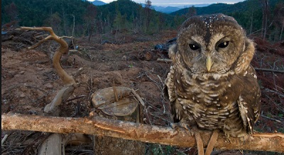 A northern spotted owl losing its habitat