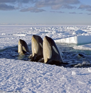 Orca whales in Arctic waters