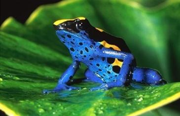 Poison Dart Frog – Dendrobatidae