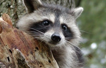 Raccoon – Procyon lotor