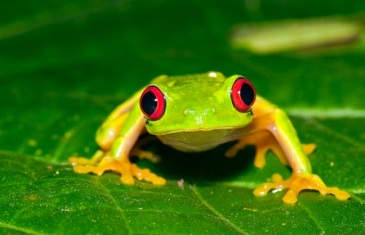 Red Eyed Tree Frog – Agalychnis callidryas