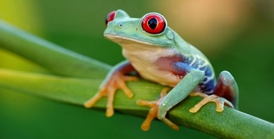 Red Eyed Tree Frog, Vancouver Acuarium