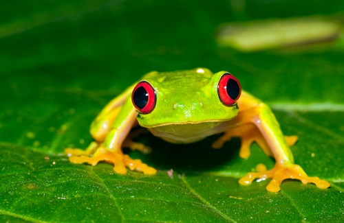 Rainforest Frogs Information