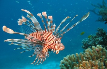 Red Lionfish – Pterois volitans