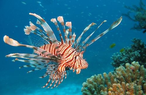 Red Lionfish Pterois Volitans