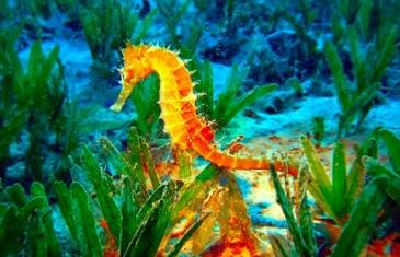Seahorse – Hippocampus