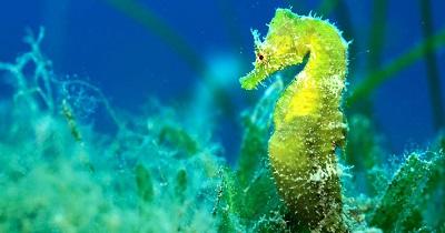 Seahorse Australia
