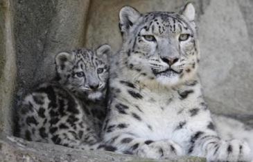 Snow Leopard – Panthera Uncia