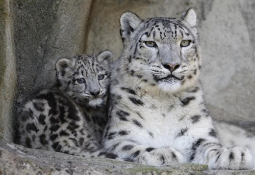 Snow Leopard Panthera Uncia Facts About Animals