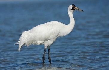 Whooping Crane – Grus Americana