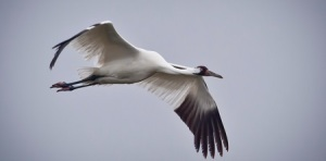 Whooping Crane, migration