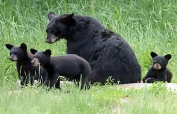 Black Bear – Ursus Americanus