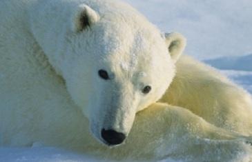 Polar Bear – Ursus maritimus