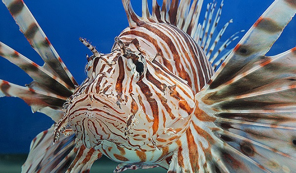 Red Lionfish from the London Aquarium