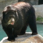 Andean Bear at Reid Park Zoo