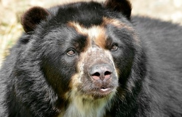 Spectacled/Andean Bear-Tremarctos ornatus