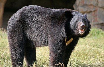 Asiatic Black Bear – Ursus Thibetanus