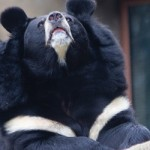 Asiatic Black Bear from the Philadelphia Zoo