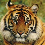 Bengal Tiger. Endangered