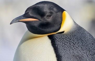 Emperor Penguin – Aptenodytes forsteri