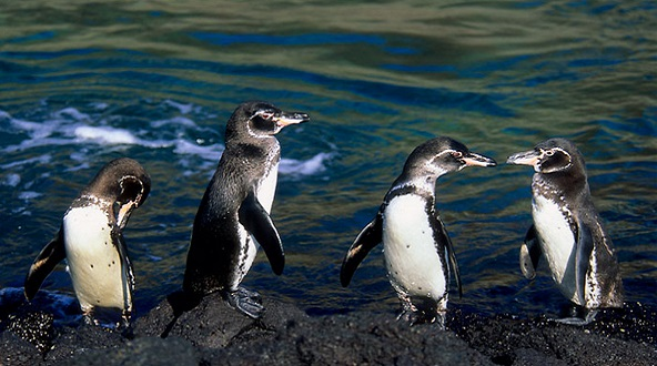 Galapagos Penguin on lava rocks