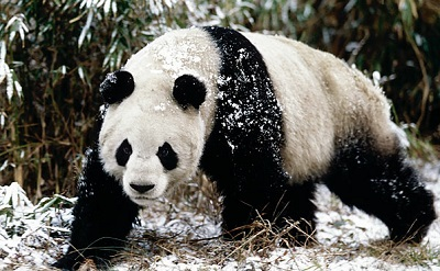 panda bear conservation essays Read this full essay on giant panda  global warming is affecting not only polar  bears but also many other species that are  the giant panda paradigm essay.