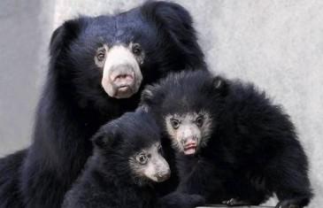 Sloth Bear – Melursus ursinus