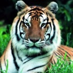 South China Tiger. Critically Endangered