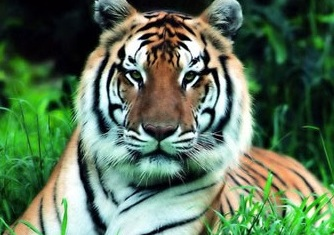 South China Tiger – Panthera tigris amoyensis