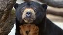Sun Bear from the Edinburgh Zoo