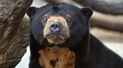 Sun Bear from the Edinburgh Zoo
