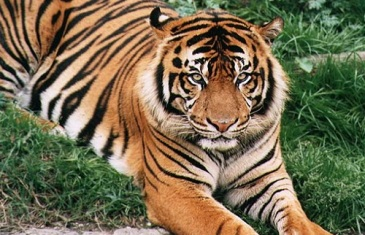 Tiger – Panthera tigris